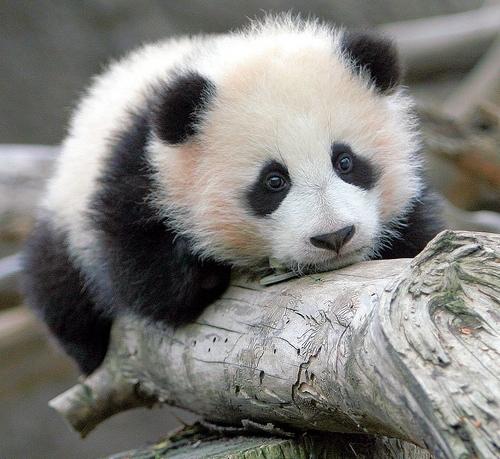 Happy Panda Day – Bio Break